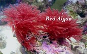 Red algae: Rhodophyta