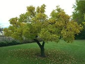 Texas' state tree is a pecan tree.