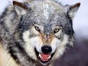 Wolves prey