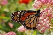 Butterflies and Milkweed Plants