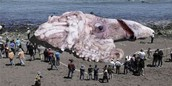 Worlds Biggest Octopus