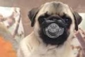 Playing with a Pug