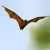 Rare Indian Bat