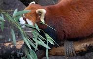 volwassende rode panda