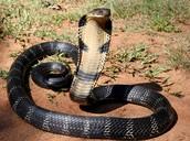 The King Cobras venom is lethal.