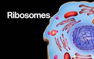 Attached Ribosomes