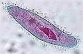 paramecium under a microscope.