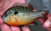 Longer Sunfish