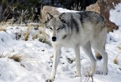 This is a gray wolf