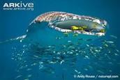 Whale Eating Plankton
