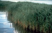 Salt marsh cordgrass