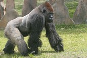 Are Gorillas in Central Africa Soon to Become Extinct?