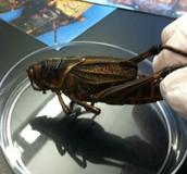 Grasshopper Background Information: