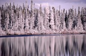 Boreal forest at winter