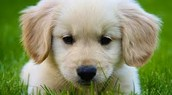 getting a golden retriver