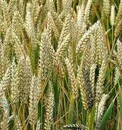 Vascular Wheat Crop