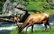 A elk eating near a river