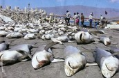 200 Sharks getting finned