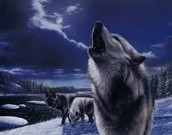 Wolves hunting