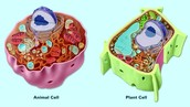 Plant Cell v. Animal Cell