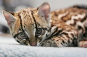 How does an ocelot adapt to survive?