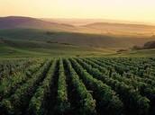 Des Vignobles