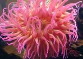 Actiniaria (Sea Anemone)
