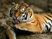 Awesome Siberian Tiger Facts:
