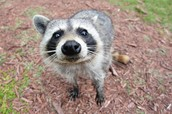 Raccoon are helping the earth