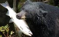 My animal is a bear
