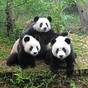 De panda houdt van spelen met elkaar