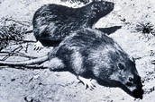 Rats that carried disease