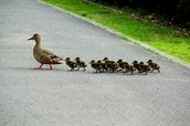 Ducks cross the Road