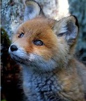 What does the red fox look like when it is little