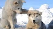 Siberian husky puppies playing