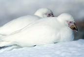 Белая ржанка