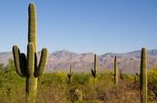 Scientific:𝐶𝑎𝑟𝑛𝑒𝑔𝑖𝑒𝑎 𝑔𝑖𝑔𝑎𝑛𝑡𝑒𝑎, Common:Saguaro
