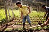Sharp farming tools can harm laborers