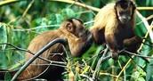 Peruvian Monkeys