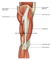 Lateral Hip Muscles