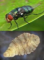 Larvas de moscas como parásitos