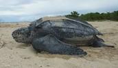 adult leatherback turtle