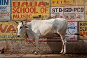 Hindus believe the cow is sacred