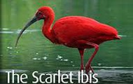 The National Bird of Tobago