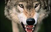 wolfs growl