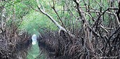 Mangroves trees