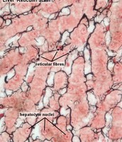 Connective tissue function