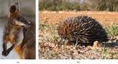 Kangaroo and Hedgehog