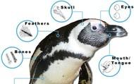 Penguins upper body