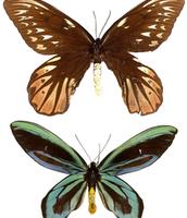 Queen Alexandria's Bird-Wing Butterfly